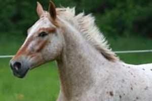 Charly-Pferd